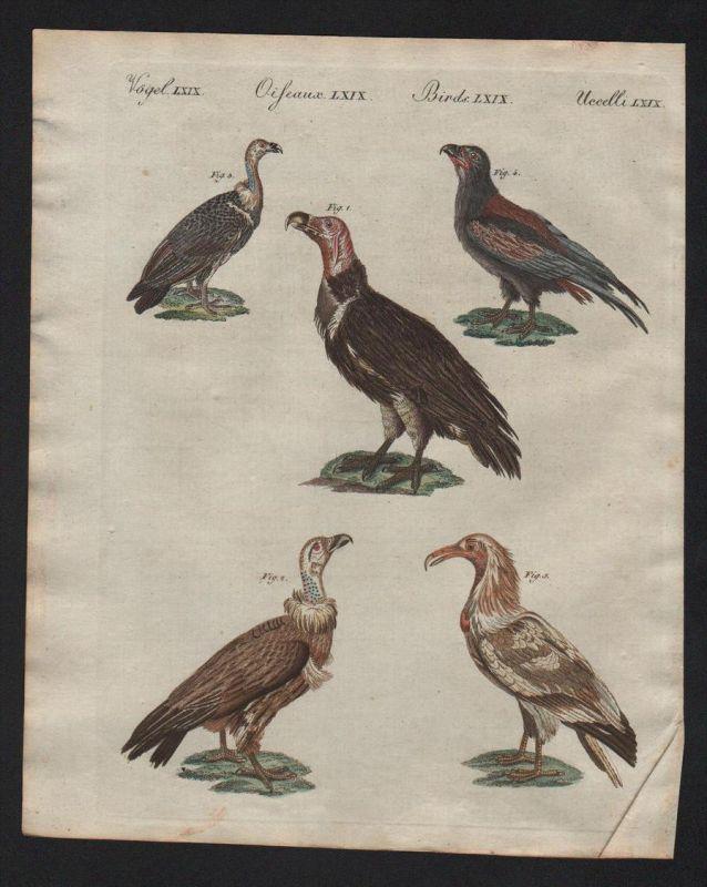 Geier vulture vultures Raubvögel raptor Bertuch Kupferstich antique print