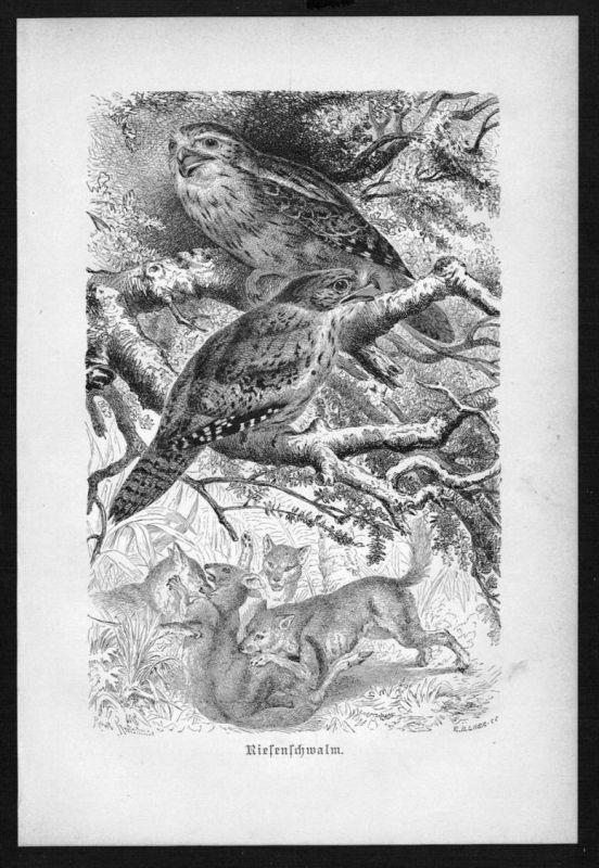 Riesenschwalm Schwalm Vogel Vögel bird birds Holzstich woodcut