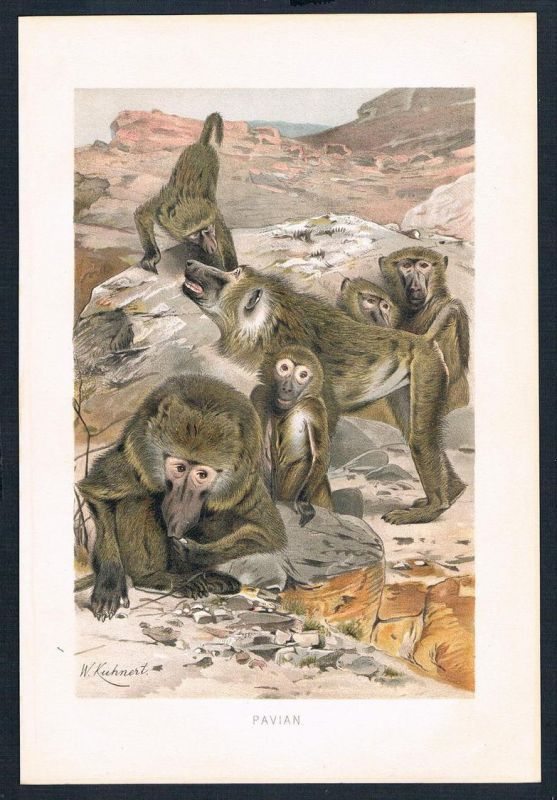 Pavian Affen Affe monkey monkeys Original Farblithographie lithography
