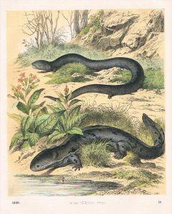 Salamanderfisch Axolotl Amphibien - Lithographie lithography