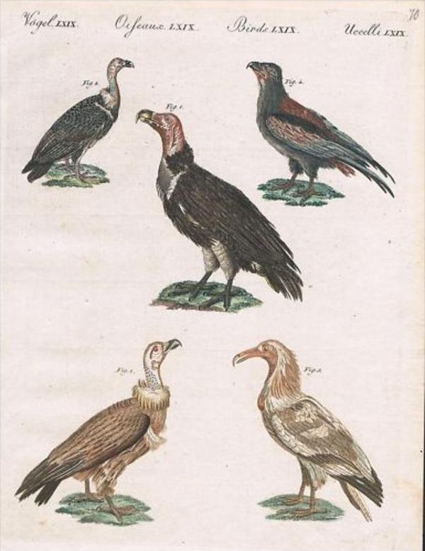 Geier Vulture Vultures Raubvögel Kupfer Bertuch