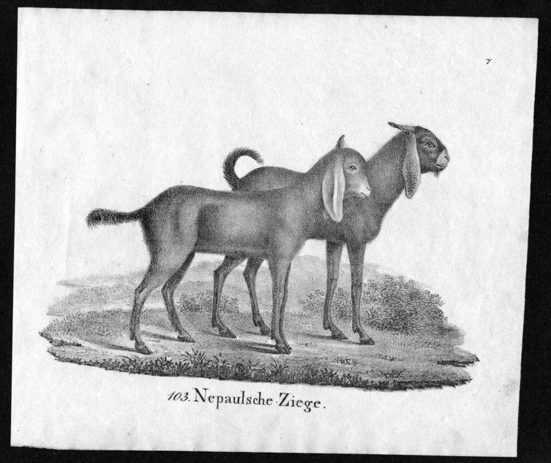 Nepaulsche Ziege Ziegen goat goats Nepal Lithographie antique print