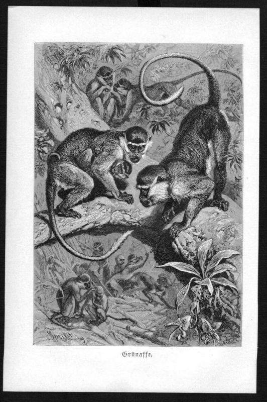 Grünaffe Affe Affen monkey monkeys Original Holzstich woodcut