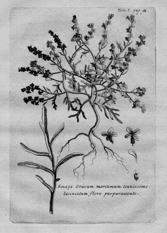 Sinapis Senf herbal Heilkräuter Kräuter Kupferstich engraving