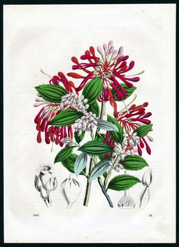 Blüten Blumen Sträucher flowers Botanik botany Lithographie lithograph