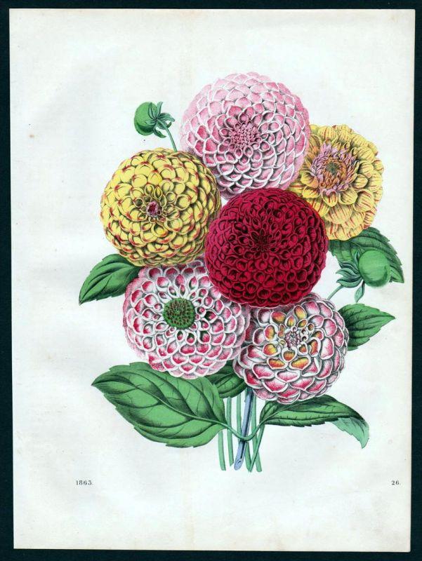 Dahlien Dahlia Georginen Blume flower Botanik botany Lithographie lithograph
