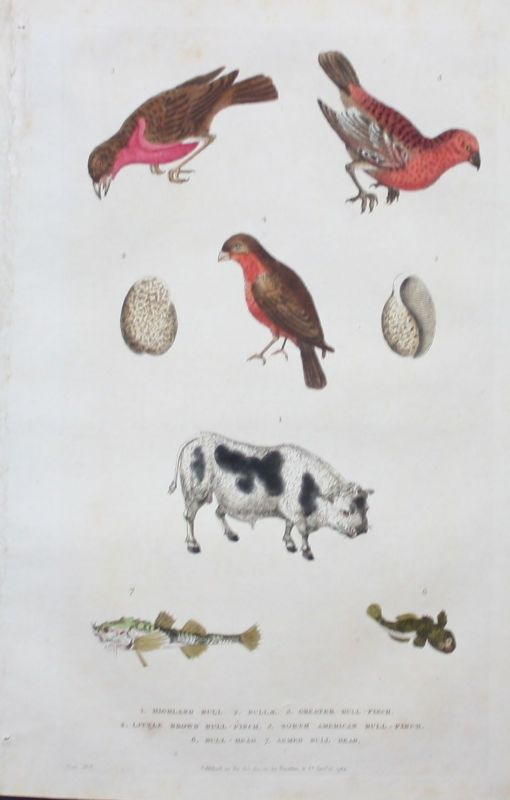 1780 - Dompfaff Gimpel bullfinch Kuh cow Tiere animals engraving Kupferstich
