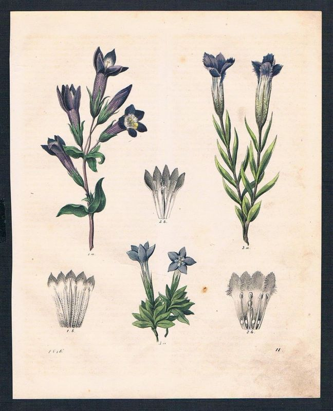 1846 - Enzian gentian Blume flower flowers Original Lithographie lithograph 0