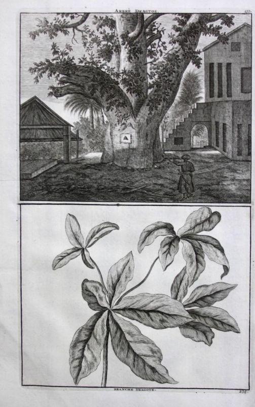 Arbre Dragtoe / Branche Dragote -  Baum Tree arbre fruit tree Obst Obstbaum Kupferstich antique print