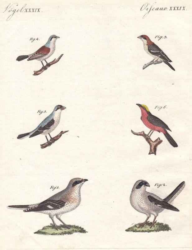 Vögel XXXIX - Vogel bird Vögel birds Würger shrike Sperlinge sparrow Sperlingsvögel Bertuch Kupferstich copper