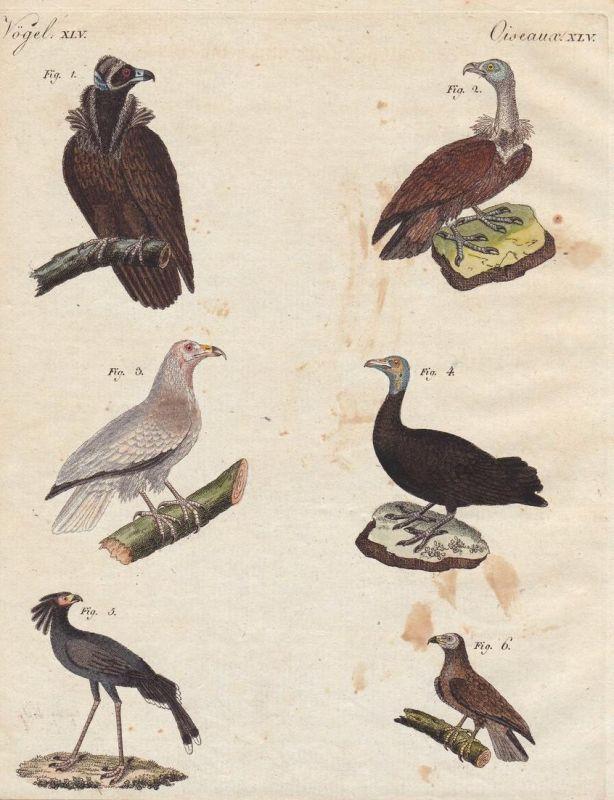 Vögel XLV - Geier vulture Sekretär secretary Greifvogel Vogel bird Vögel birds Bertuch Kupferstich copper engr