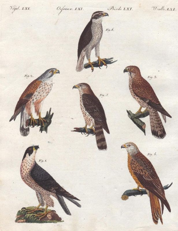 Vögel LXI - Raubvögel birds of prey Falken hawks hawk Falke Vögel birds Vogel bird Bertuch Kupferstich copper