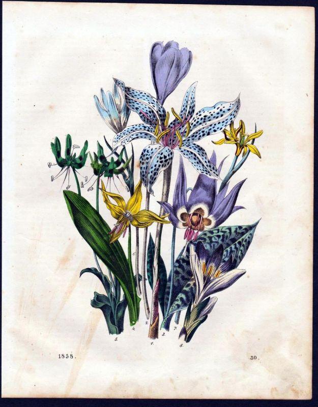 Zwiebelgewächs Lauchgewächs Botanik allioideae botany Lithographie lithograph