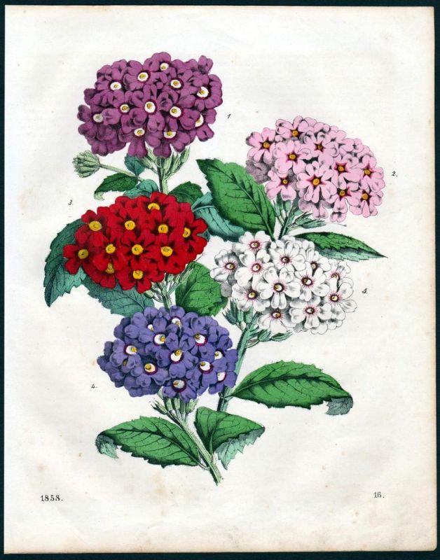 Verbenen Eisenkrautgewächse Verbena Botanik botany Lithographie lithograph