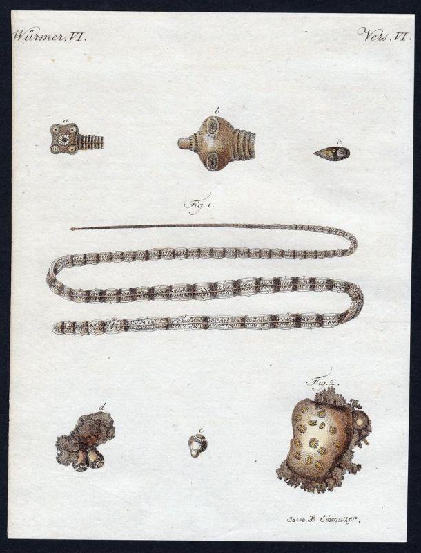 Würmer VI - Bandwurm tapeworm Würmer worms worm Wurm Kupferstich Bertuch antique print Menschen-Vielkopf