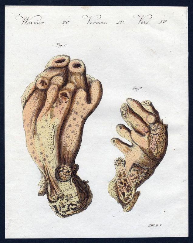 Würmer XV - Teufelshand worm worms Wurm Würmer Kupferstich Bertuch antique print Seekork
