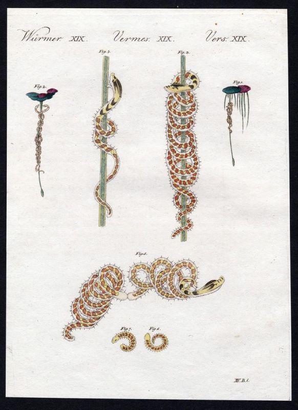 Würmer XIX - Würmer worm worms Wurm Kupferstich Bertuch antique print Naide