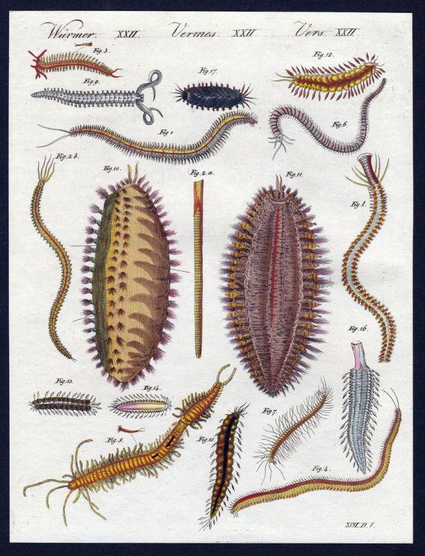 Würmer XXII - Würmer worms Wurm worm Kupferstich Bertuch antique print Nereide Bänder-Nereide Polydore Seeraup