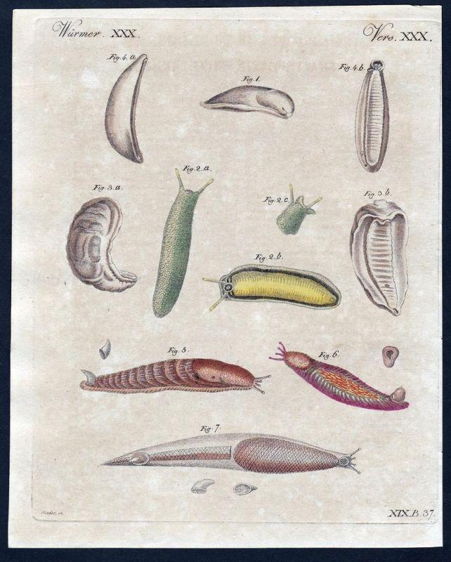 Würmer XXX - worms worm Wurm Würmer Mollusken Kupferstich Bertuch antique print