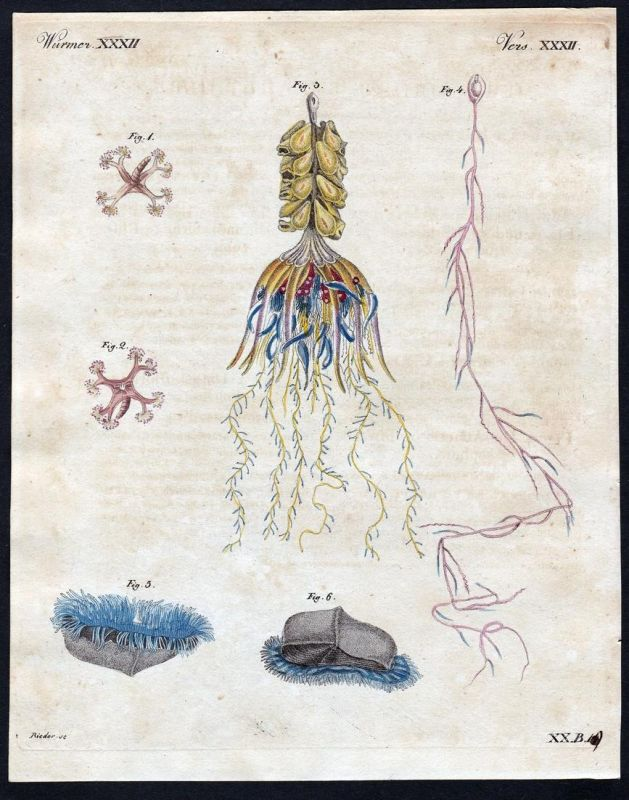 Würmer XXXII - Wurm Würmer worm worms Quallen jellyfish Qualle Kupferstich Bertuch antique print Lucernaria Ph