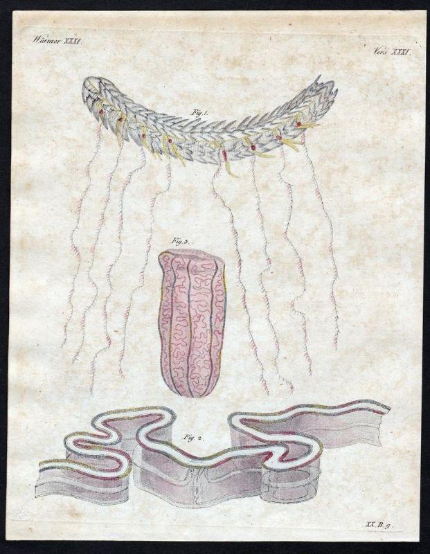 Würmer XXXI - Würmer worms Wurm worm Strahltiere Radiata Kupferstich Bertuch antique print Amphitriten-Stephan