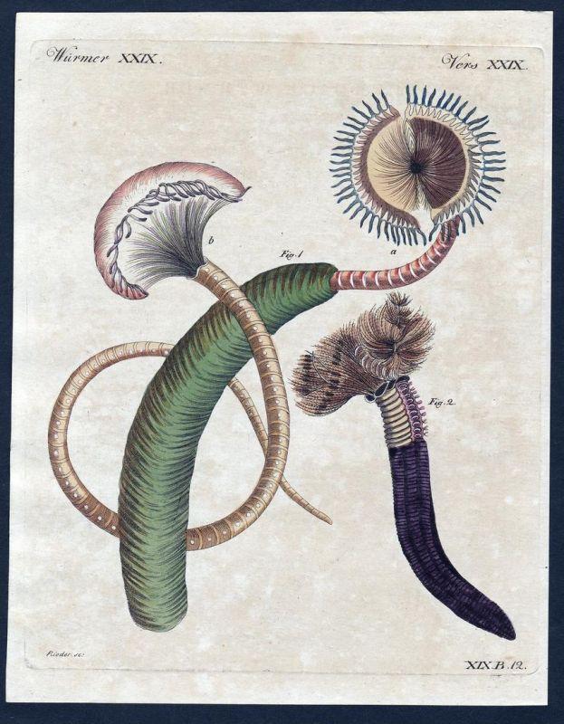 Würmer XXIX - Würmer Wurm worms worm tentacle Tentakel Kupferstich Bertuch antique print Trichter-Sabella Tent