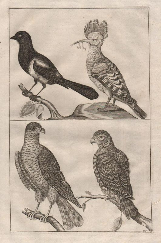 Adler Vögel Vogel Elster - eagle birds bird magpie