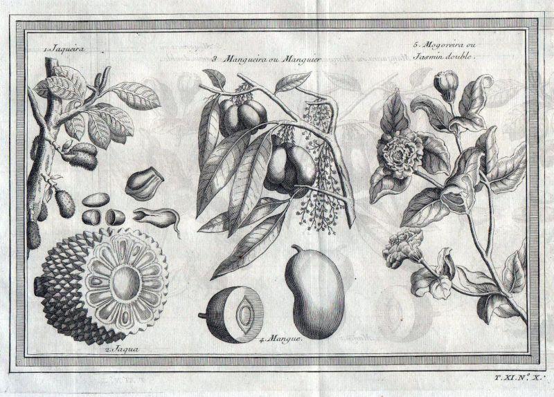 Jaqeuira - Jackfrucht jackfruit Mango Jasmine botany Kupferstich antique print Botanik