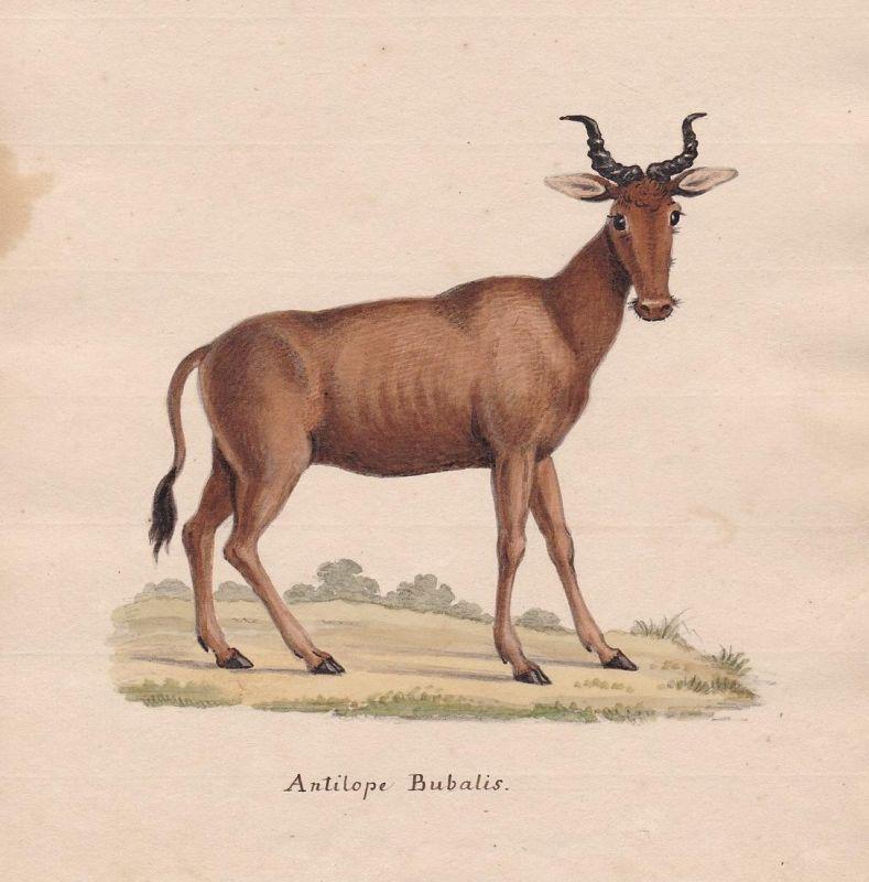 Antilope Bubalis - antelope antilope Antilope Bubal Hartebeest hartebeest Kuhantilope