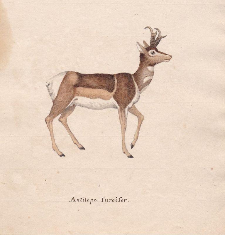 Antilope furcifer - Antilope antilope antelope Antilopen
