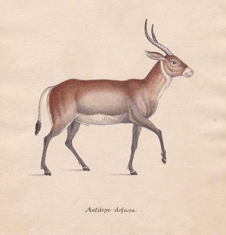 Antilope defassa - Antilope antelope antilope Wasserbock waterbuck