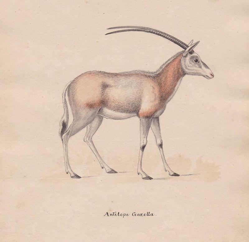 Antilope Gazella - Gazelle Antilope gazelle antelope antilope