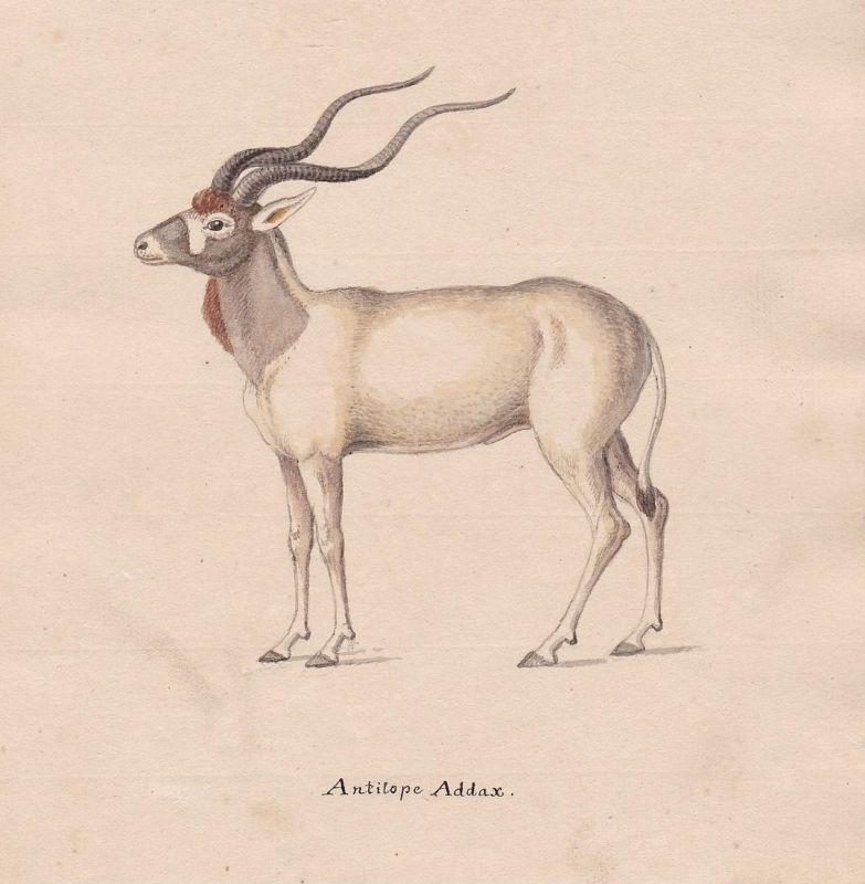 Antilope Addax - Mendesantilope Antilope antelope antilope addax