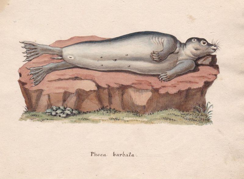 Phoca barbata - Robbe Robben phoque phoca seal seals