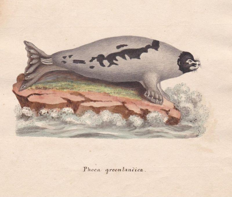 Phoca groenlandica - Robbe phoca seal phoque seals Robben
