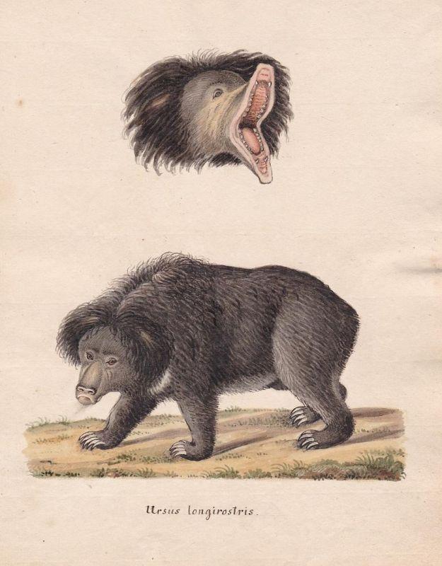 Ursus longirostris - Bär bear bears Bären ours Ursus Ursidae