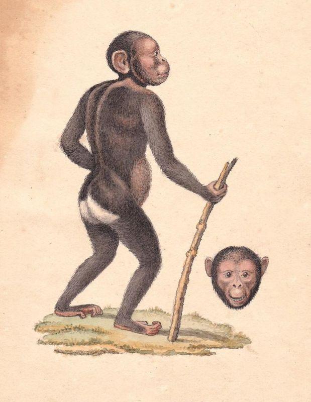 Affe monkey singe Affen monkeys