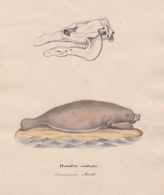 Manatus australis / Amerikanischer Manati - manatee Manati Manatus Seekuh sea cow