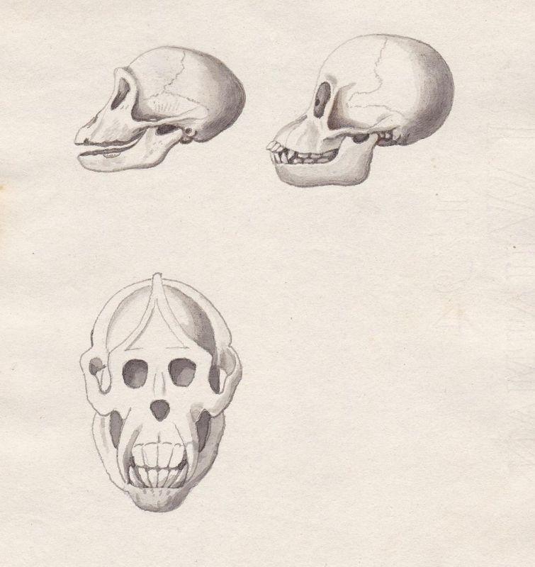 Kopf head Skelett Affe monkey squelette skeletal singe