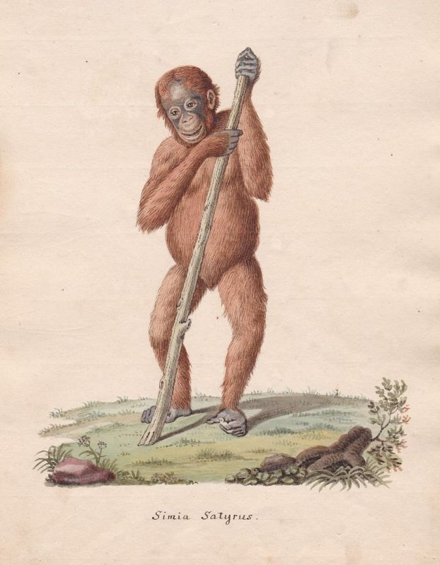 monkey Affe singe Affen monkeys