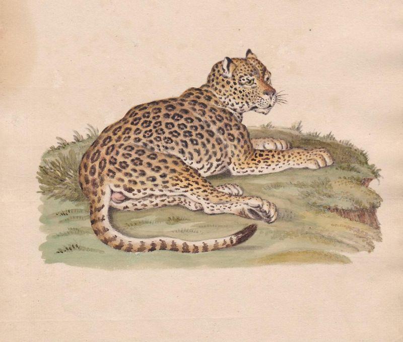 Leopard leopard Katze cat chat