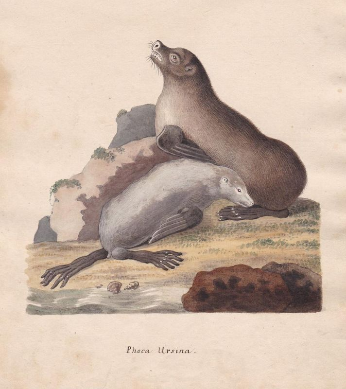 Phoca Ursina - seal seal Robben Robbe phoque