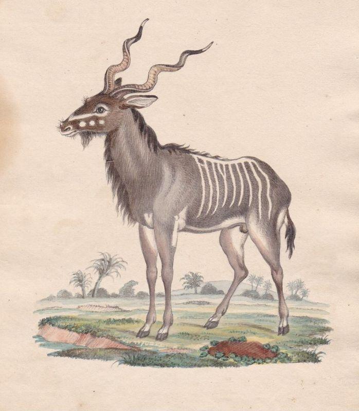 Antilope antilope antelope