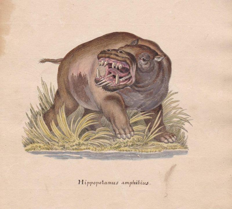 Hippopotamus amphibius - Nilpferd hippopotame hippo hippopotamus