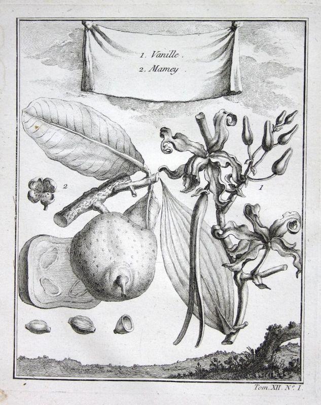 Vanille   Mamey - Vanille vanilla Sapote sapota Botanik botany Kupferstich antique print