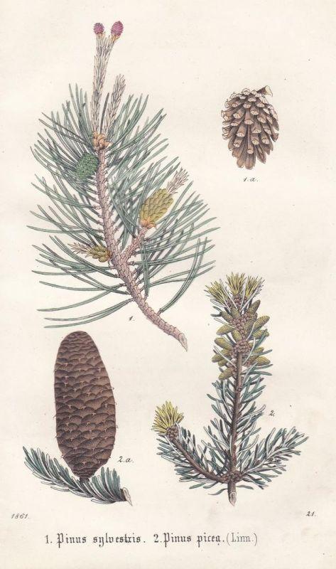 1. Pinus sylvestris. 2. Pinus picea (Linn) - Waldkiefer Pinie Pflanze plant plants stone pine Scots pine Litho