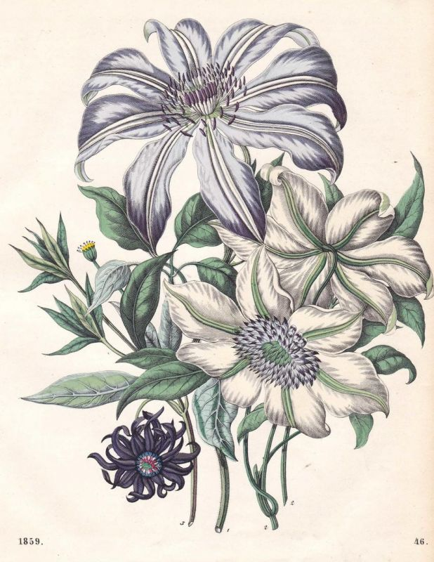 Clematis-Arten - Waldreben Clematis Pflanze plant Blume flower Pflanzen plants Lithographie lithograph antique