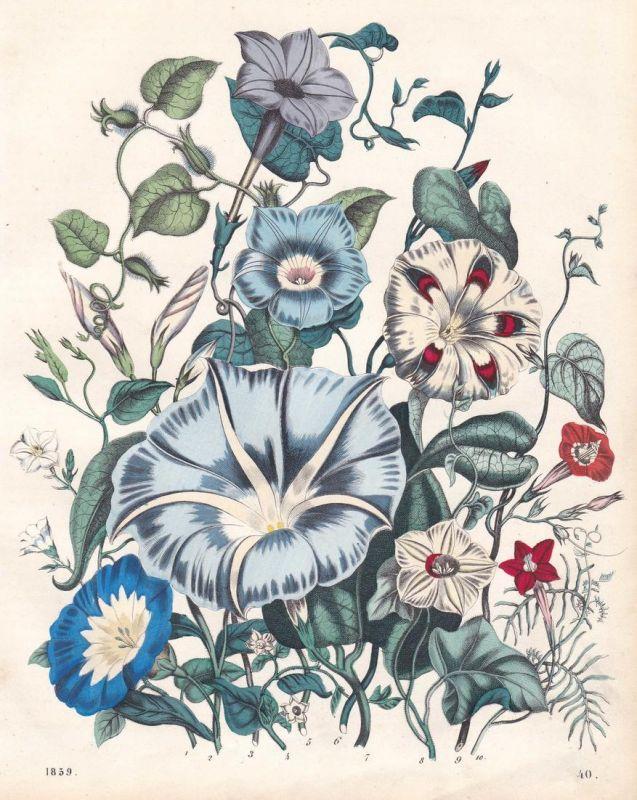 Der Amerikanische Kuhvogel - Winden Convolvulus Blume flower Pflanze plant Lithographie lithograph antique pri