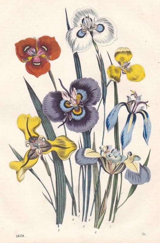 Tropische-Zwiebel-Blumen - Zwiebelblumen spring bulbs Blume flower Pflanze plant Lithographie lithograph antiq