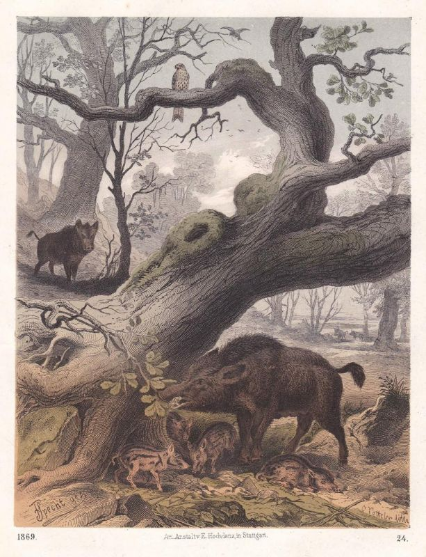 Wildschwein wild boar Schwein pig Frischling Wald wood Lithographie lithograph antique print
